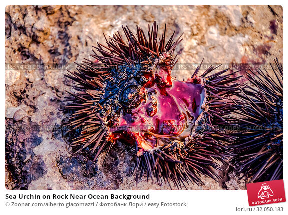 Sea Urchin on Rock Near Ocean Background. Стоковое фото, фотограф Zoonar.com/alberto giacomazzi / easy Fotostock / Фотобанк Лори