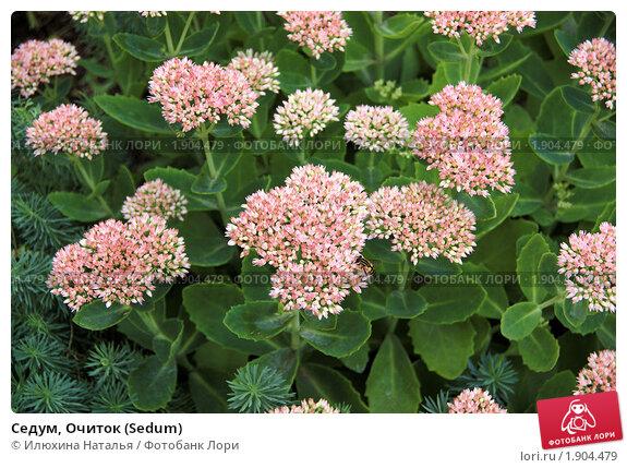 Очиток  Фотогалерея цветы растения картинки фото