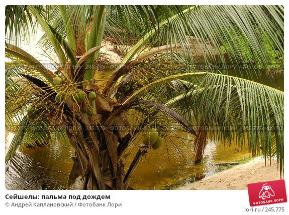 Купить «Сейшелы: пальма под дождем», фото № 245775, снято 31 августа 2007 г. (c) Андрей Каплановский / Фотобанк Лори