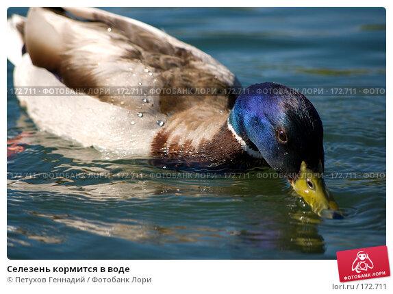 Селезень кормится в воде, фото № 172711, снято 12 июня 2007 г. (c) Петухов Геннадий / Фотобанк Лори