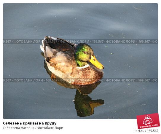 Селезень кряквы на пруду, фото № 169567, снято 21 октября 2007 г. (c) Беляева Наталья / Фотобанк Лори