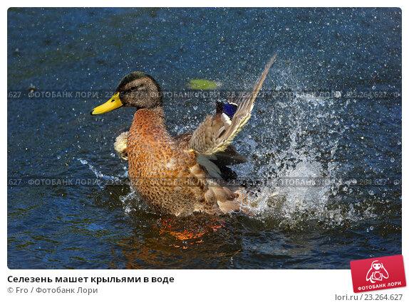 Купить «Селезень машет крыльями в воде», фото № 23264627, снято 16 июля 2016 г. (c) Fro / Фотобанк Лори
