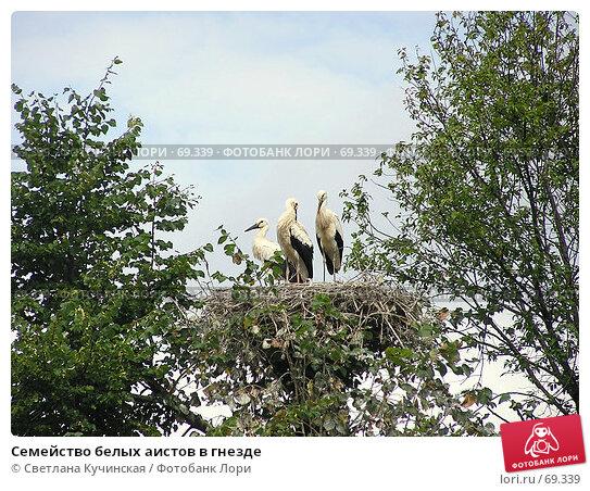 Семейство белых аистов в гнезде, фото № 69339, снято 19 января 2017 г. (c) Светлана Кучинская / Фотобанк Лори