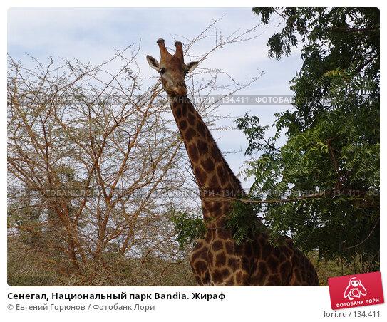 Купить «Сенегал, Национальный парк Bandia. Жираф», фото № 134411, снято 1 декабря 2007 г. (c) Евгений Горюнов / Фотобанк Лори