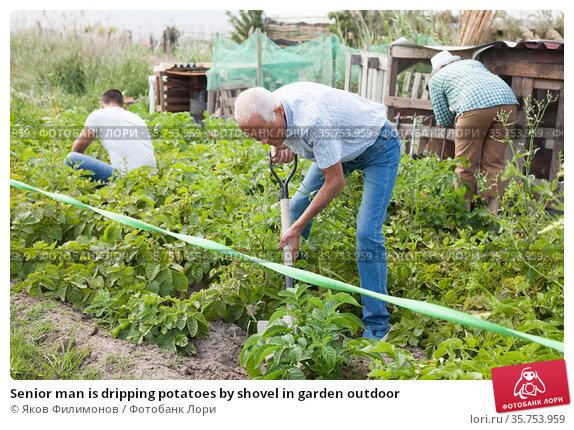 Senior man is dripping potatoes by shovel in garden outdoor. Стоковое фото, фотограф Яков Филимонов / Фотобанк Лори