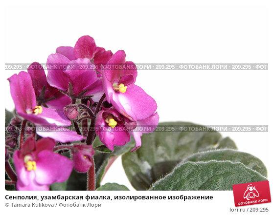 Сенполия, узамбарская фиалка, изолированное изображение, фото № 209295, снято 25 февраля 2008 г. (c) Tamara Kulikova / Фотобанк Лори