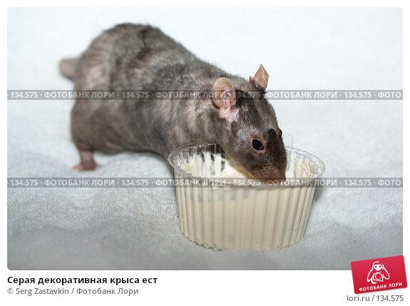 Купить «Серая декоративная крыса ест», фото № 134575, снято 11 октября 2006 г. (c) Serg Zastavkin / Фотобанк Лори