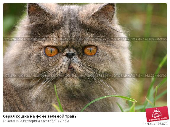 Серая кошка на фоне зеленой травы, фото № 176879, снято 18 сентября 2005 г. (c) Останина Екатерина / Фотобанк Лори