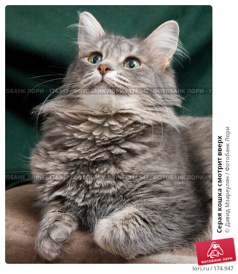 Купить «Серая кошка смотрит вверх», фото № 174947, снято 12 января 2008 г. (c) Давид Мзареулян / Фотобанк Лори