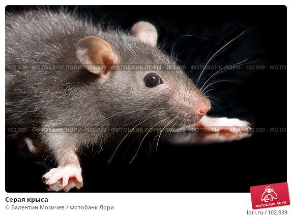 Серая крыса, фото № 102939, снято 17 января 2017 г. (c) Валентин Мосичев / Фотобанк Лори
