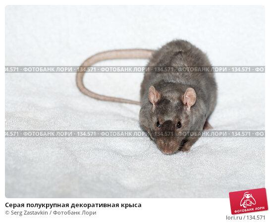 Серая полукрупная декоративная крыса, фото № 134571, снято 11 октября 2006 г. (c) Serg Zastavkin / Фотобанк Лори