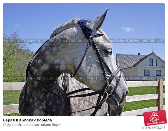 Серая в яблоках кобыла, фото № 303215, снято 25 мая 2008 г. (c) Ирина Еськина / Фотобанк Лори