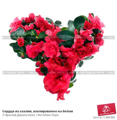 Купить «Сердце из азалии, изолированно на белом», фото № 1304303, снято 16 июля 2020 г. (c) Ярослав Данильченко / Фотобанк Лори