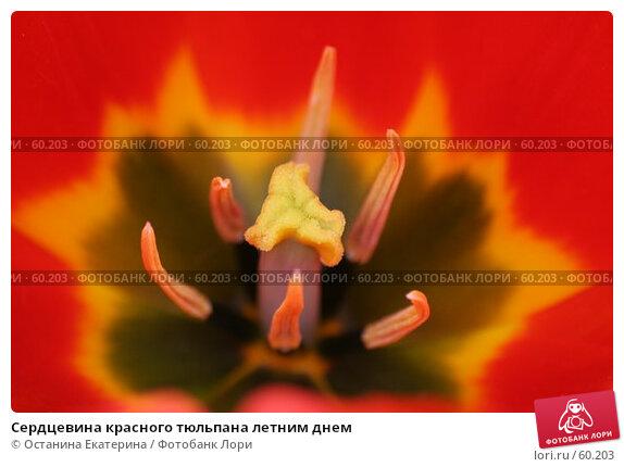 Купить «Сердцевина красного тюльпана летним днем», фото № 60203, снято 19 февраля 2007 г. (c) Останина Екатерина / Фотобанк Лори
