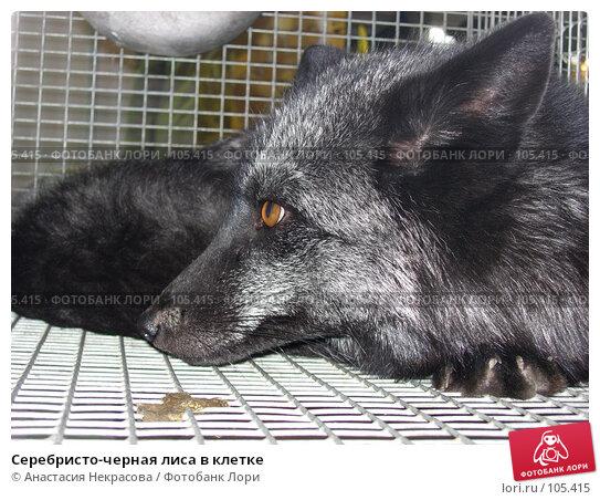 Серебристо-черная лиса в клетке, фото № 105415, снято 7 октября 2005 г. (c) Анастасия Некрасова / Фотобанк Лори