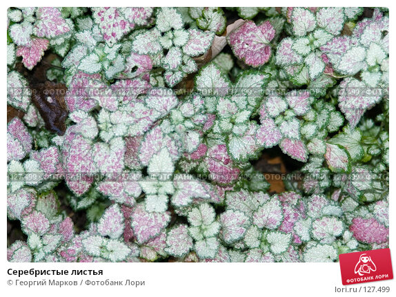 Серебристые листья, фото № 127499, снято 12 октября 2005 г. (c) Георгий Марков / Фотобанк Лори