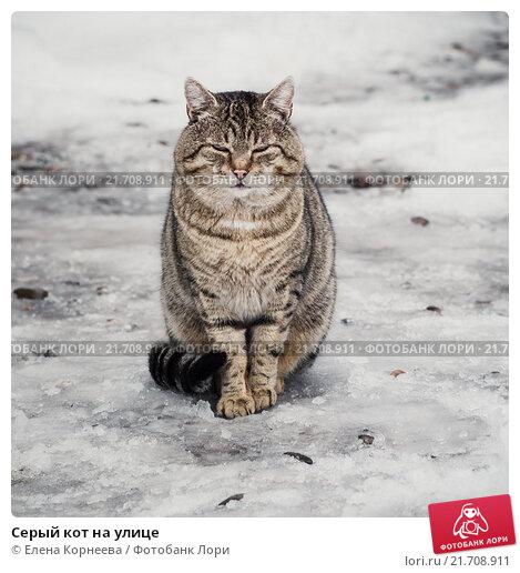 Кот корнеев