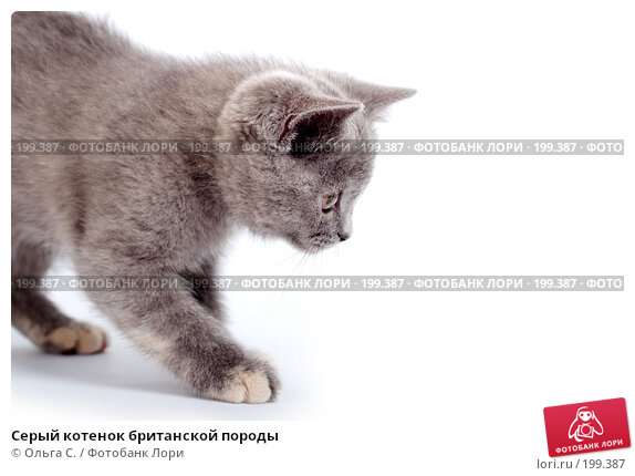 Серый котенок британской породы, фото № 199387, снято 29 мая 2007 г. (c) Ольга С. / Фотобанк Лори
