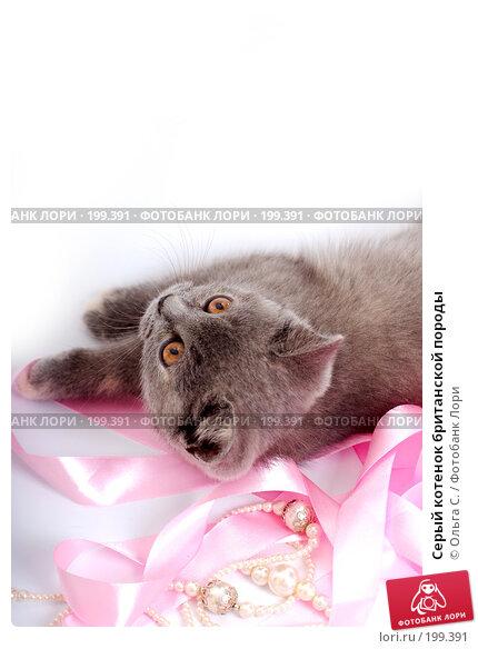 Серый котенок британской породы, фото № 199391, снято 29 мая 2007 г. (c) Ольга С. / Фотобанк Лори