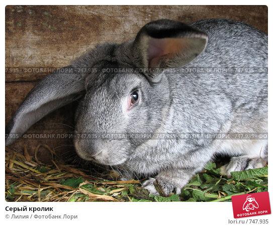 Купить «Серый кролик», фото № 747935, снято 27 октября 2007 г. (c) Лилия / Фотобанк Лори
