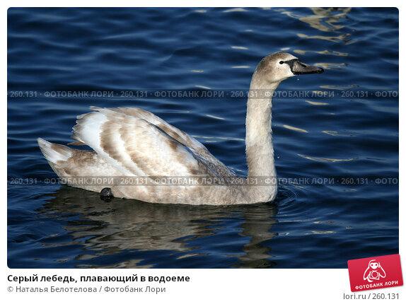 Серый лебедь, плавающий в водоеме, фото № 260131, снято 29 марта 2008 г. (c) Наталья Белотелова / Фотобанк Лори