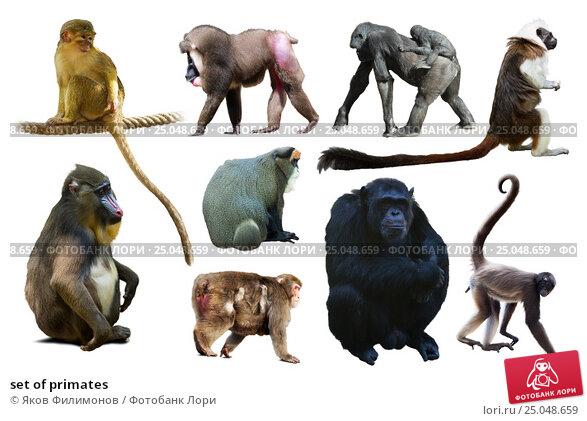 Купить «set of primates», фото № 25048659, снято 19 апреля 2019 г. (c) Яков Филимонов / Фотобанк Лори