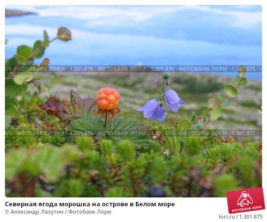 Северная ягода морошка на острове в Белом море. Стоковое фото, фотограф Александр Лазутин / Фотобанк Лори