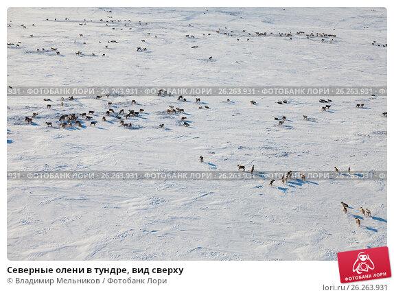 Северные олени в тундре, вид сверху, фото № 26263931, снято 8 апреля 2017 г. (c) Владимир Мельников / Фотобанк Лори
