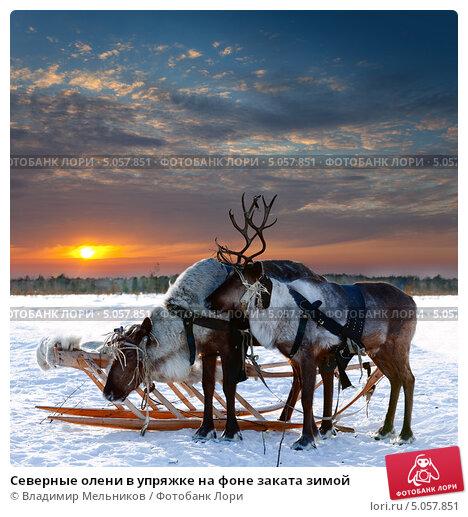 Северные олени в упряжке на фоне заката зимой, фото № 5057851, снято 25 февраля 2012 г. (c) Владимир Мельников / Фотобанк Лори