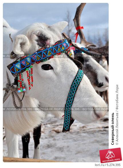 Северный олень. Стоковое фото, фотограф Алексей Леонтьев / Фотобанк Лори