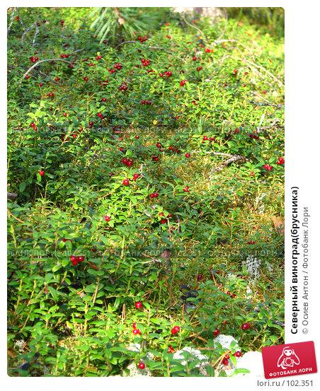 Северный виноград(брусника), фото № 102351, снято 26 октября 2016 г. (c) Осиев Антон / Фотобанк Лори
