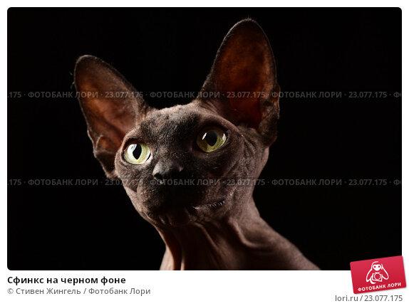 Купить «Сфинкс на черном фоне», фото № 23077175, снято 25 ноября 2015 г. (c) Стивен Жингель / Фотобанк Лори
