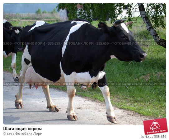 Шагающая корова, фото № 335659, снято 21 мая 2005 г. (c) sav / Фотобанк Лори