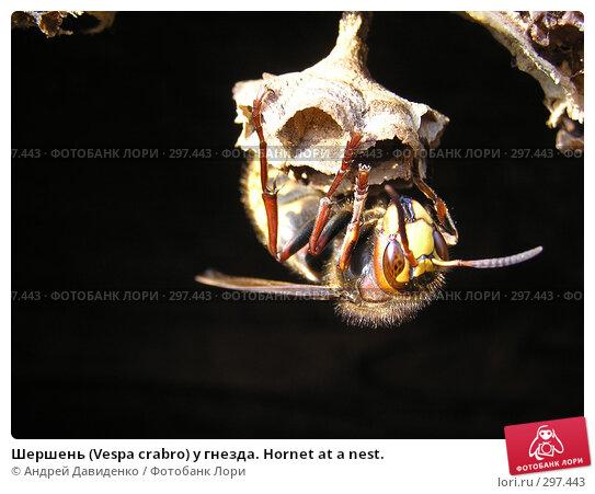 Шершень (Vespa crabro) у гнезда. Hornet at a nest., фото № 297443, снято 18 мая 2008 г. (c) Андрей Давиденко / Фотобанк Лори
