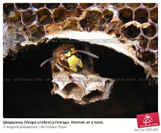 Шершень (Vespa crabro) у гнезда. Hornet at a nest., фото № 297451, снято 18 мая 2008 г. (c) Андрей Давиденко / Фотобанк Лори