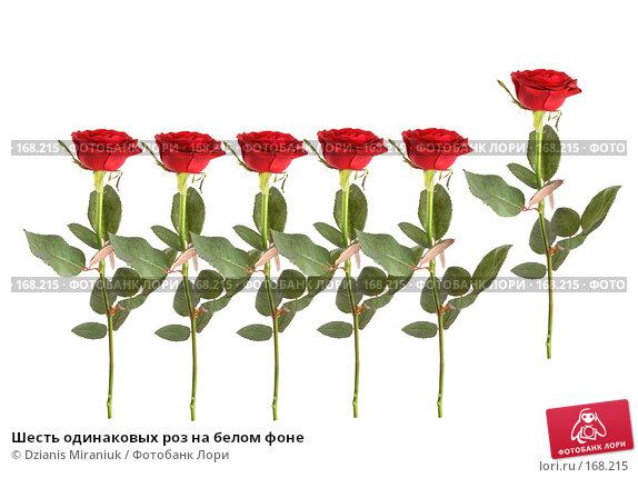 Шесть одинаковых роз на белом фоне, фото № 168215, снято 5 января 2008 г. (c) Dzianis Miraniuk / Фотобанк Лори