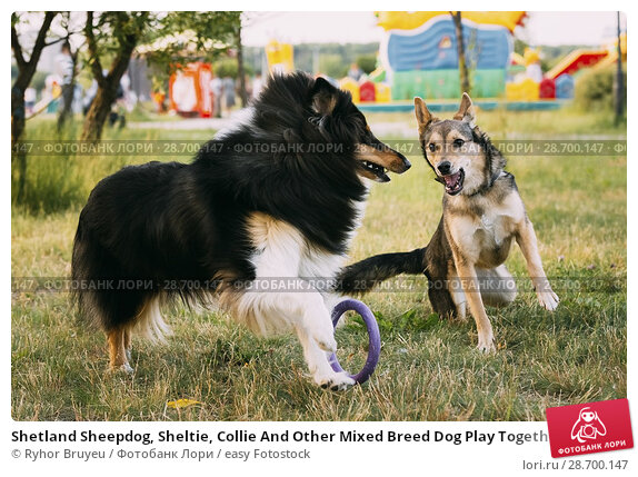 Купить «Shetland Sheepdog, Sheltie, Collie And Other Mixed Breed Dog Play Together With Ring Outdoor In Summer Grass At Evening. This Breed Of Herding Dog. They...», фото № 28700147, снято 4 июня 2016 г. (c) easy Fotostock / Фотобанк Лори