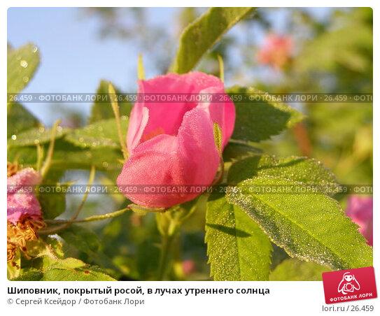 Купить «Шиповник, покрытый росой, в лучах утреннего солнца», фото № 26459, снято 18 июня 2006 г. (c) Сергей Ксейдор / Фотобанк Лори