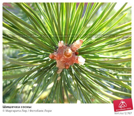 Шишечка сосны, фото № 2767, снято 27 июля 2017 г. (c) Маргарита Лир / Фотобанк Лори