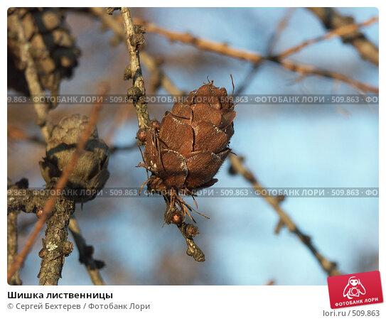 Шишка лиственницы, фото № 509863, снято 25 ноября 2004 г. (c) Сергей Бехтерев / Фотобанк Лори