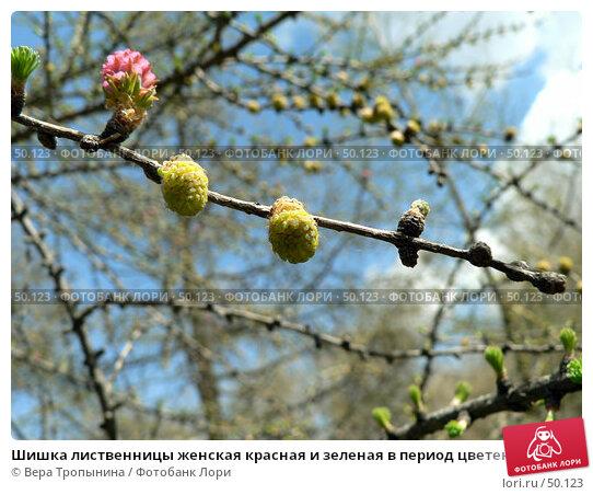 Шишка лиственницы женская красная и зеленая в период цветения, фото № 50123, снято 24 апреля 2007 г. (c) Вера Тропынина / Фотобанк Лори