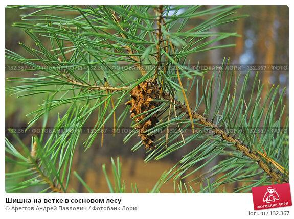 Шишка на ветке в сосновом лесу, фото № 132367, снято 5 ноября 2007 г. (c) Арестов Андрей Павлович / Фотобанк Лори