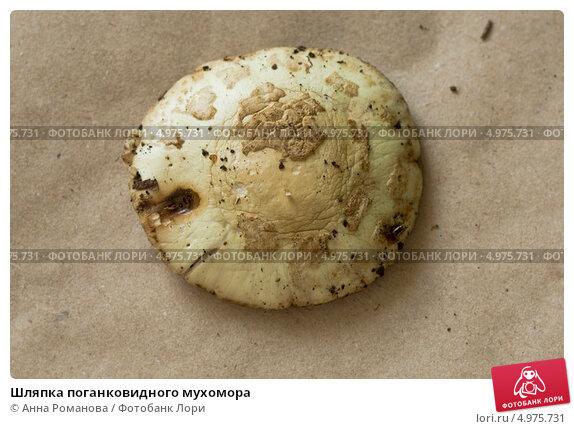 Шляпка поганковидного мухомора. Стоковое фото, фотограф Анна Романова / Фотобанк Лори