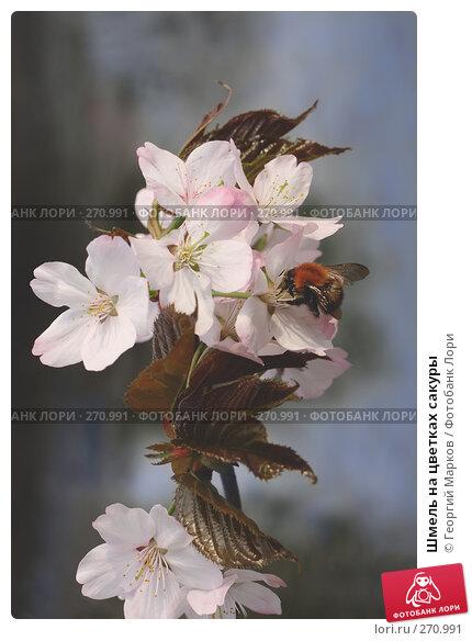 Шмель на цветках сакуры, фото № 270991, снято 1 мая 2008 г. (c) Георгий Марков / Фотобанк Лори