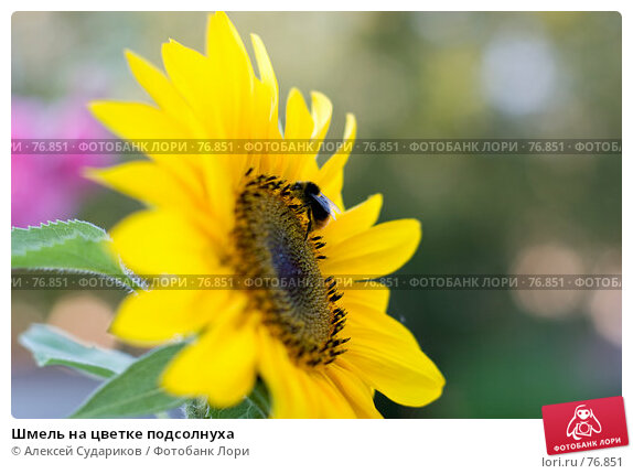 Шмель на цветке подсолнуха, фото № 76851, снято 25 августа 2007 г. (c) Алексей Судариков / Фотобанк Лори