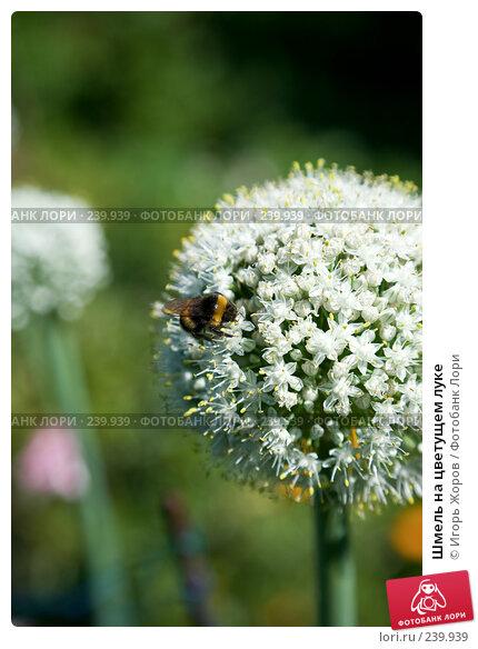 Шмель на цветущем луке, фото № 239939, снято 7 августа 2007 г. (c) Игорь Жоров / Фотобанк Лори