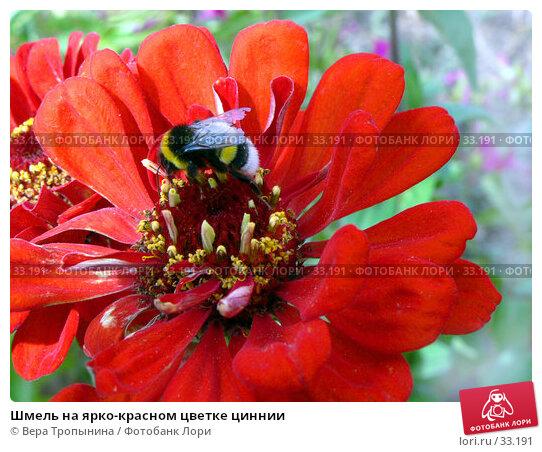 Шмель на ярко-красном цветке циннии, фото № 33191, снято 30 августа 2006 г. (c) Вера Тропынина / Фотобанк Лори