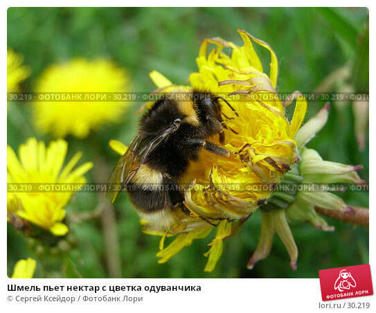 Шмель пьет нектар с цветка одуванчика, фото № 30219, снято 28 мая 2006 г. (c) Сергей Ксейдор / Фотобанк Лори
