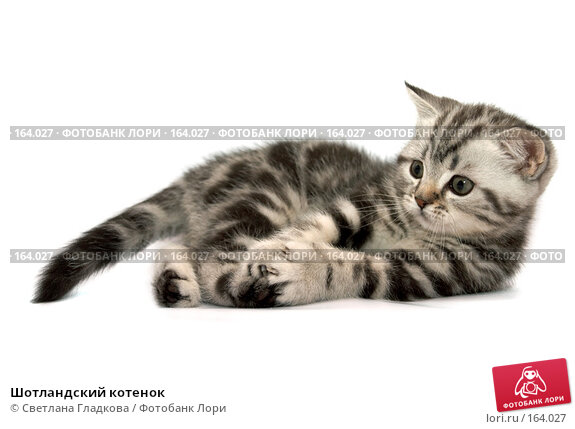 Шотландский котенок, фото № 164027, снято 16 октября 2007 г. (c) Cветлана Гладкова / Фотобанк Лори