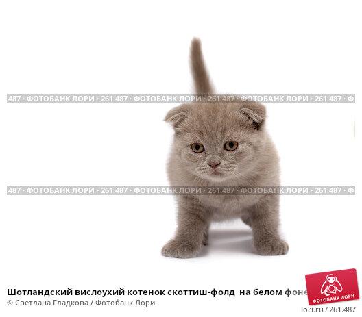 Шотландский вислоухий котенок скоттиш-фолд  на белом фоне, фото № 261487, снято 12 апреля 2008 г. (c) Cветлана Гладкова / Фотобанк Лори